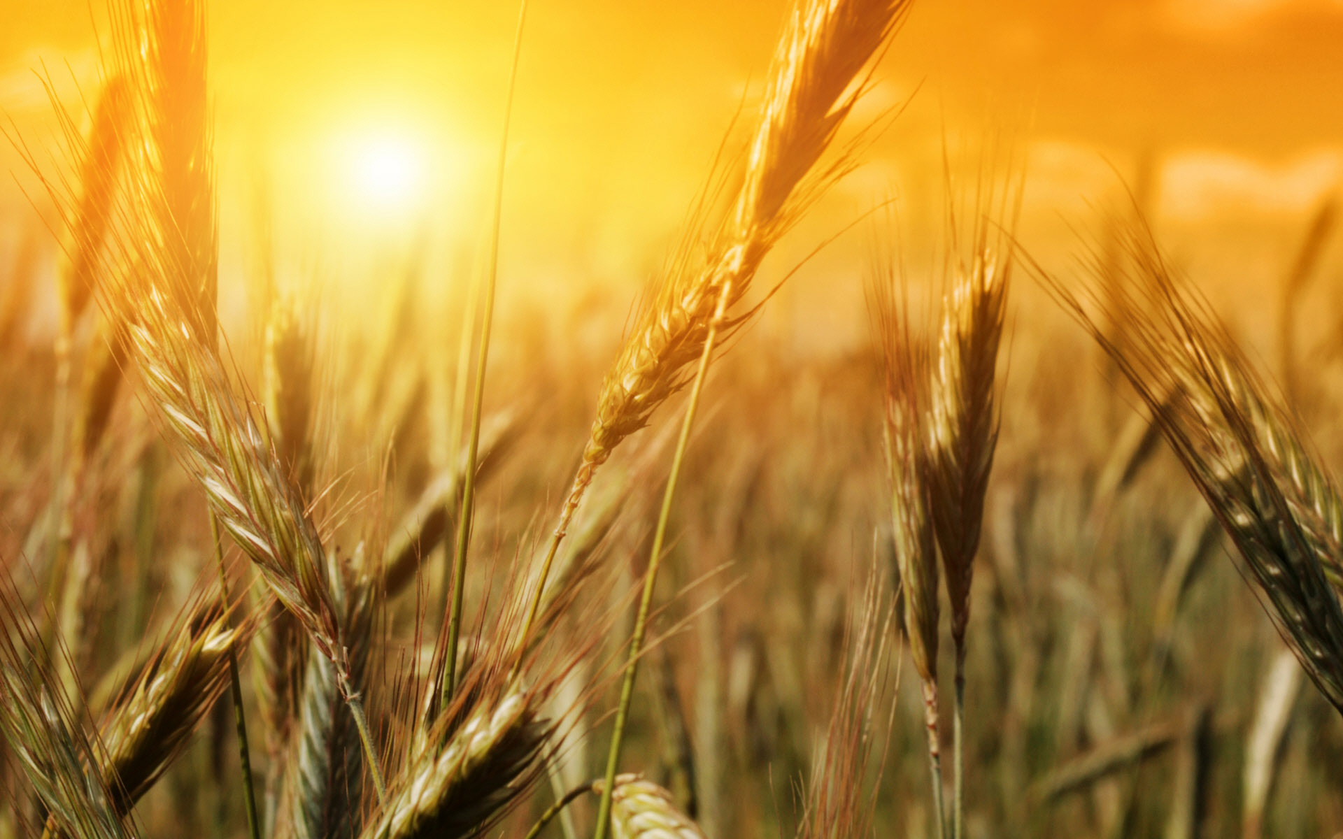 wheat-field-27